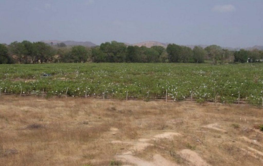 guava-farm