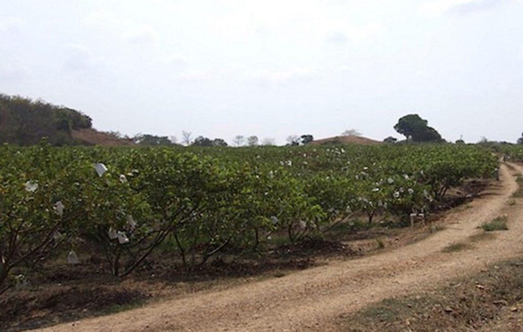 guava-farm1